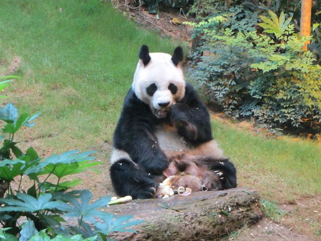 hong kong attractions for kids Panda-Bears-at-Ocean-Park-Hong-Kong